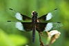 Widow Skimmer (Male)